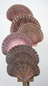 Mexican Flat Shell Stems - Clearance