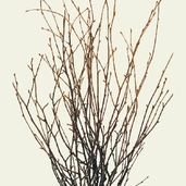 Natural Dried Birch Twigs Bunch pkg of 7 Stems