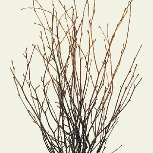 http://ep.yimg.com/ay/yhst-132146841436290/natural-dried-birch-twigs-bunch-pkg-of-7-stems-3.jpg