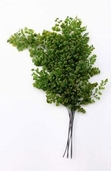Preserved (Natural) Ferns Fronds Lutti Adianthum (8-10 inch) Clearance