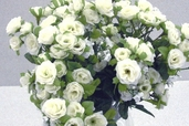 Rambling Rose 18 in - Pkg of 12 - White