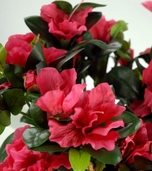 Ruffle Azalea Bush - 14in - Beauty