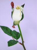 Single Rose Bud Spray 23in. - Vanilla - Box of 24 - Clearance