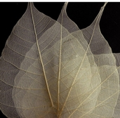 Skeleton Leaves Bodhi Tree Leaves 100 Pkg - BLeached White