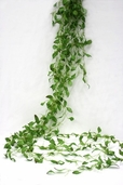 Smilax Hanging Spray - 6ft - Green