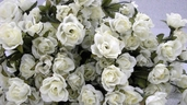 Victoria's Heart Rose pkg of 12 - Cream White