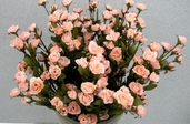 Victoria's Heart Rose pkg of 12 - Pink - Clearance