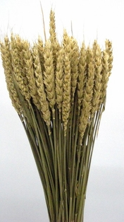 http://ep.yimg.com/ay/yhst-132146841436290/wheat-tarwe-dried-natural-2.jpg