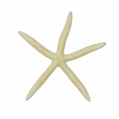 White Finger Starfish 6-7 inches