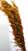 Wild Oats Dried - Autumn