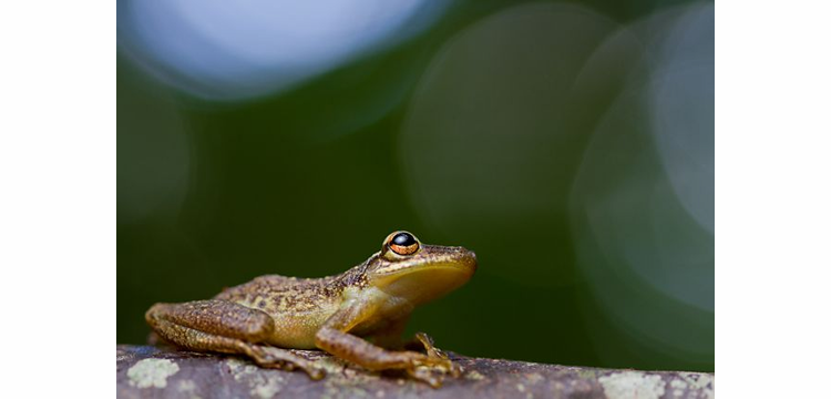 Tambopata Photo Safari with Tropical Herping -  November 30 - December 8, 2014