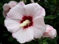 Blush Satin-Rose of Sharon - Hibiscus