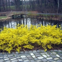 "Gold Tide Dwarf Forsythia Shrub - Compact - Hardy - 4"" Pot"