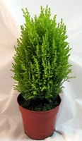 Lemon Scented Goldcrest' Cypress Tree - Indoors/Out