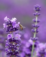 Munstead-Lavender Herb - Perennial - Grow Inside or Out