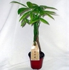 5 Money Tree Plants Braided into 1 Tree -Pachira-4 inch pot