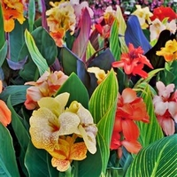 5 Tropical Mix Collection - Tall Canna - Bulbs/Roots/Rhizomes/ Tubers/
