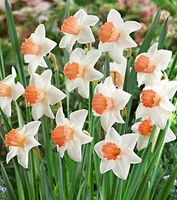 Accent Large Cup Daffodil - 5 bulbs
