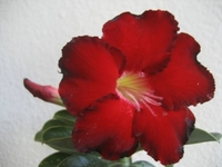 Adenium Desert ROSE Black Fire House Plant Bonsai