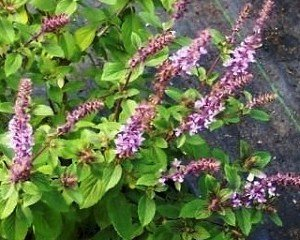 African Blue Basil Live Plant