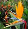 Bird of Paradise Plant - Strelitzia reginae