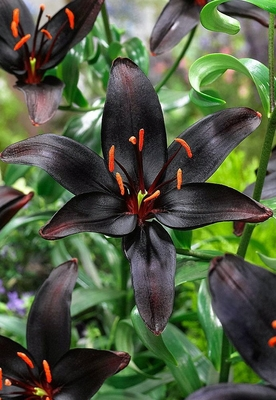 Black Pearl Asiatic Lily - 2 Bulbs 14/16cm - Darkest Lily in the World