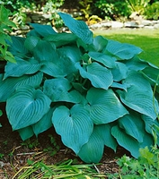 Blue Angel Hosta - 2 root divisions