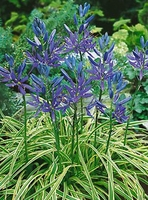 Blue Melody Camassia - 5 bulbs