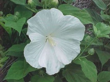 "Blue River II Rose Mallow Perennial - Hibiscus - 3"" Pot"