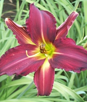 Breathless Beauty Daylily - 2 root divisions