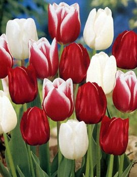 Candy Cane Mix Tulip 10 Bulbs - Lush Pink & Melon