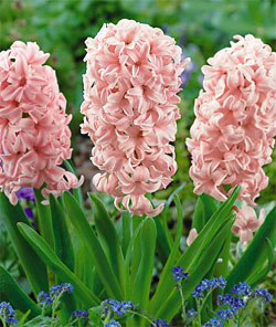 China Pink Hyacinth - 5 bulbs