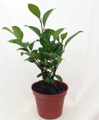 "Chinese Ginseng Ficus Bonsai Tree - 3.5"" Pot"