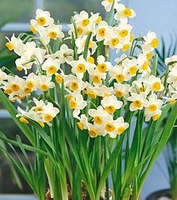Chinese Sacred Lily Paperwhites - 5 bulbs