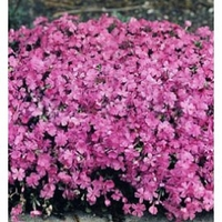 Creeping Phlox Plants