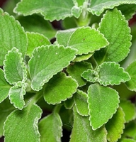 "Cuban Oregano - Plectranthus barbatus - Potted Herb - 2.5"" Pot"