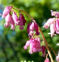 Dicentra - Bleeding Heart -Luxuriant