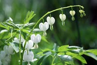 Dicentra spectabilis - Bleeding Heart - White