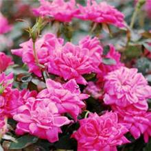 Double Pink Knockout Roses