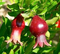Dwarf Pomegrante Tree