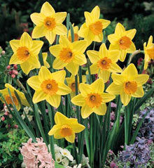 Fortune Large Cup Daffodil - 5 bulbs