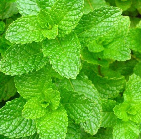 how to grow spearmint indoors