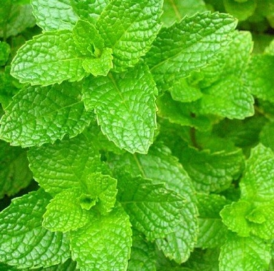 """Fresh Spearmint Plant for Cosmopolitan - Grow Indoors/Out - 4"""" Pot"""