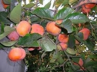 Fuyu Persimmon Tree in Grower's Pot  2-3 Year Old