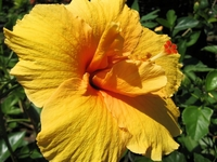 Golden Orange Hibiscus
