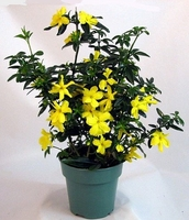 Golden Primrose Jasmine - Stunning Yellow Blooms -
