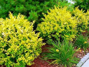 "Golden Vicary Privet - Ligustrum - Easy to Grow - 4"" Pot"