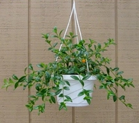 "Goldfish Plant - 6"" Hanging Basket - Blooms Constantly!"