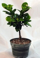 "Green Island Ficus Pre-Bonsai Tree - 4"" Pot"