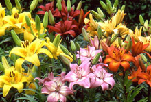 Grower's Mix Asiatic Lily - 3 bulbs
